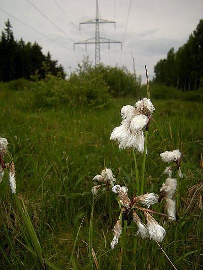 Suchopýr úzkolistý pod elektrovodem u Louček.