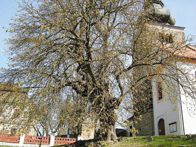 Památný jírovec před svojšínským kostelem.