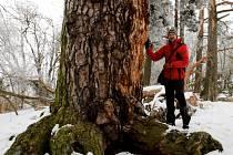 OBVOD KMENE nejmohutnější borovice v Česku je  téměř pět metrů. Redakce na místě zjistila, že památný strom má ulomenou obří větev. Strom zkontrolují odborníci a posoudí v jaké je kondici. Na snímku redaktor Deníku u kmene Lomské borovice.