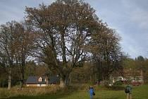 V osadě Ostrůvek roste více zajímavých stromů.