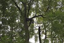 ODBORNÝ ZÁSAH  na jednom z památných stromů v Chráněné krajinné oblasti Český les.