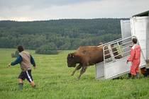 Mezi Ctiboří a Halží se pasou bizoni
