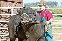 Aukce býčích masných plemen se koná na farmě v Kundraticích. Chovatelům se ukáže na šedesát kusů dobytka.