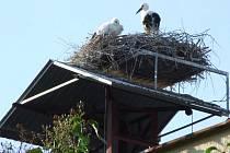 Adoptované mládě čápa bílého  z Dlouhého Újezdu pochází z jižních Čech.