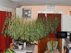 Rostliny konopí se sušily přímo v bytě obviněného muže a ženy.