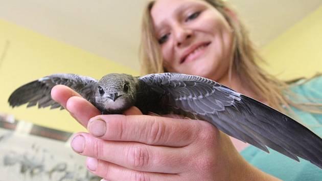 Rorýsí škola v Okříškách. Žáci sledují život ptáků pod střechou