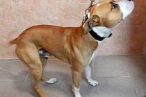 ARGO je mladý kříženec staforda, je velice milý a vyrovnaný. Má rád lidskou společnost a procházky.
