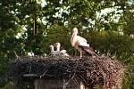 Rodič a dvě vlastní čapí mláďata v Chodové Plané