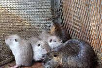 PĚT NUTRIÍ skončilo v Záchranné stanici živočichů. V zajetí je jejich chov povolen.