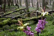 Lýkovec jedovatý v olšině na Broumovsku.