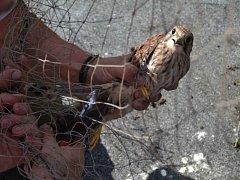 TUTO POŠTOLKU se zachránit podařilo, holuby o kus dál už bohužel ne. Kolem ležely další torza stará několik dní.