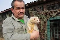 FRETKA PUTOVALA DO STUDÁNKY. Odchycená fretka (na snímku s Karlem Bobálem) našla dočasný domov v záchranné stanici živočichů.