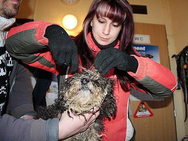 MUSÍ SE OSTŘIHAT. Psi z množírny jsou zanedbaní, a proto musí Gabriela Jägerová (na snímku) některým odstranit špatnou srst tím, že je ostřihá, nebo jim ostřihání zařídí.