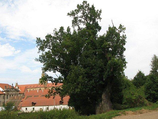 Památnému dubu v Kladrubech (na snímku) patří v celorepublikovém finále zatím třetí místo.