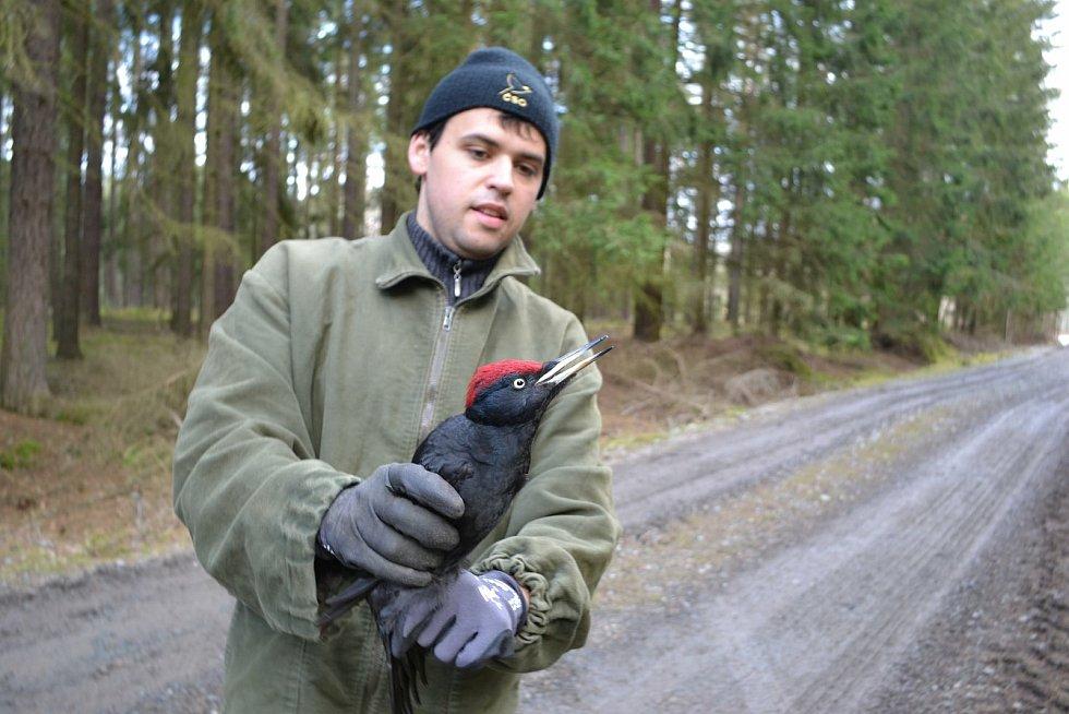 Martin Liška při odchytu a kroužkování samečka datla černého.