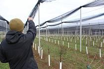 Nad novými jabloňovými stromky vyrostly konstrukce s ochrannými sítěmi proti krupobití.