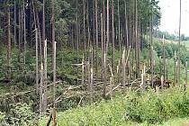 LES PO ŘÁDĚNÍ VICHŘICE. Takto vypadá les u silnice z Plané do Vysokého Jamného. Lesníci začínají sčítat škody a odstraňovat následky bouře Olivie.