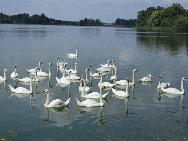 NA TISOVSKÝCH rybnících je k vidění několik desítek labutí. V Česku to zase tak obvyklý jev není.