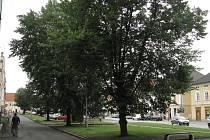 Také tyto stromy na náměstí nechalo město pokácet.