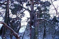 Lomská borovice je památným stromem vyhlášeným už před více než pěti lety.