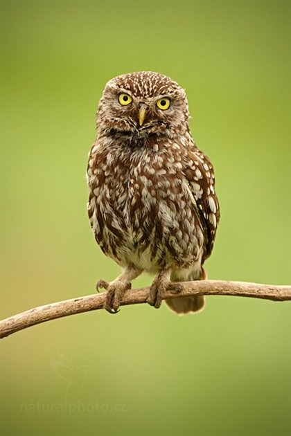 Pták roku 2018je sýček obecný, ohrožená sova, která je považovaná za ukazatel zdravé a pestré krajiny.