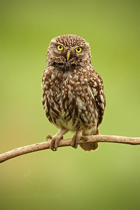 Pták roku 2018 je sýček obecný, ohrožená sova, která je považovaná za ukazatel zdravé a pestré krajiny.