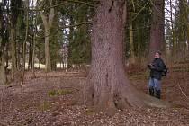 V LESNATÉ KRAJINĚ okolo Chodové Plané rostou stromy úctyhodných rozměrů.