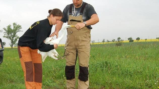 Po léčení zlomené nohy získal tažný pták svobodu u Tisovských rybníků