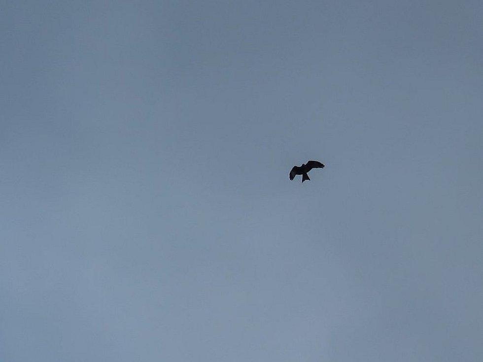 Luňák červený s vysílačkou se vrátil ze zimoviště. Ornitologové narychlo postavili hnízdní podložku.