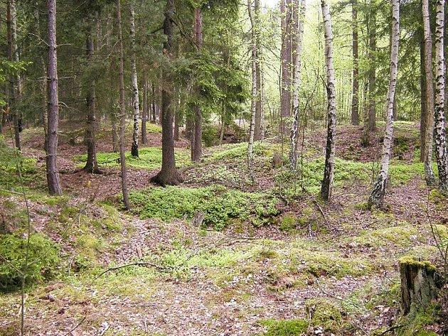 Zarostlé zlatokopecké sejpy v Klášterském lese nedaleko Křivců dokladují středověkou těžbu zlata.