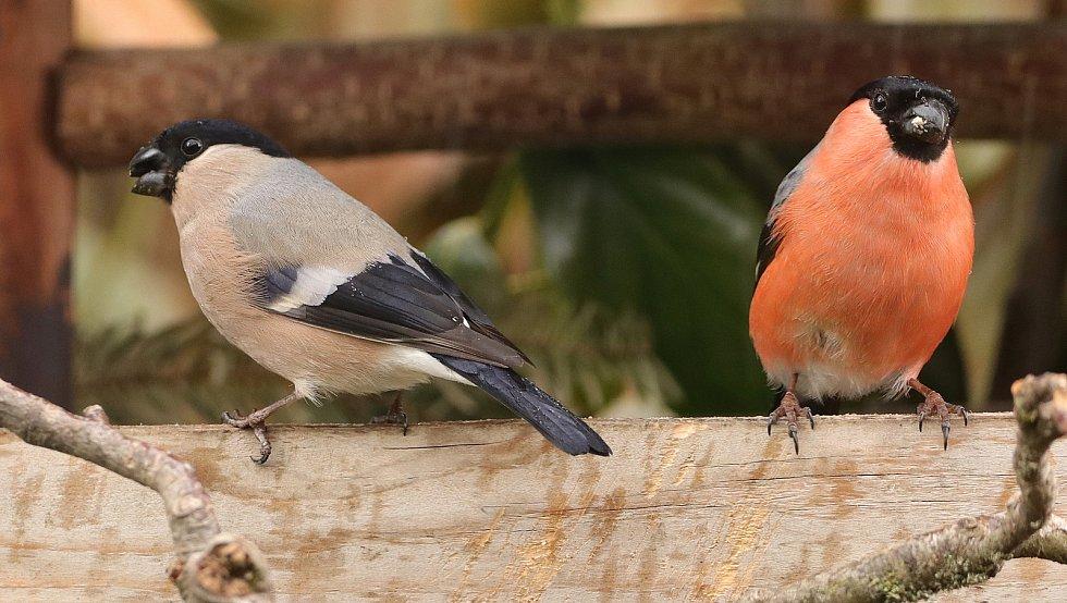 Hýl, samec (vpravo) a samice.