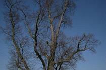 Kyjovská lípa, nápadná solitéra rostoucí vlevo od silnice z Kyjova do Zadního Chodova, byla kdysi vyhlášena památným stromem.