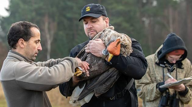 Z vypuštění orla mořského u Tisové na Tachovsku.