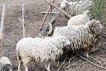 Volně pohybující se hospodářská zvířata lekají obyvatele Únehlí. Podle nich dobytku jeho chovatelka nevěnuje dostatečnou pozornost.