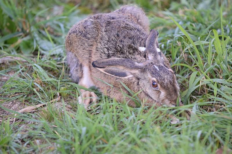 Padesát zajíců se rozuteklo v okolí Lšelína nedaleko Kostelce.