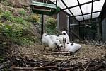 Čapí mláďata z Nalžovských Hor adoptovaná v Chodové Plané