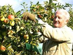 Důchodce Jaromír Bičan  sklízí jablka v sadu ve Velkých Dvorcích.  Celkem tu letos česáči sklidí  zhruba 1400 tun ovoce.