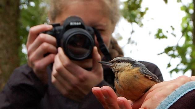 Je tomu přesně rok, co se konalo v Tachově Vítání ptačího zpěvu, při kterém ornitologové okroužkovali brhlíka. V sobotu se týž brhlík opět chytil do ornitologické sítě. Po kontrole a nezbytném focení (na snímku) byl v pořádku vypuštěn zpět do přírody.