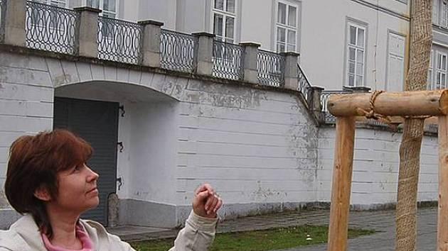 Ilona Gonová, která má kampaň Tachov, město stromů na starosti, ukazuje poškozený symbol této akce, liliovník tulipánokvětý. Vandalové mu ulomili větev.