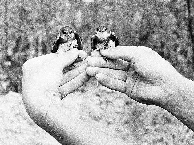Dnes už historické, dvacetileté snímky zachycující břehule říční a ornitolga Václava Boška zPlzně.