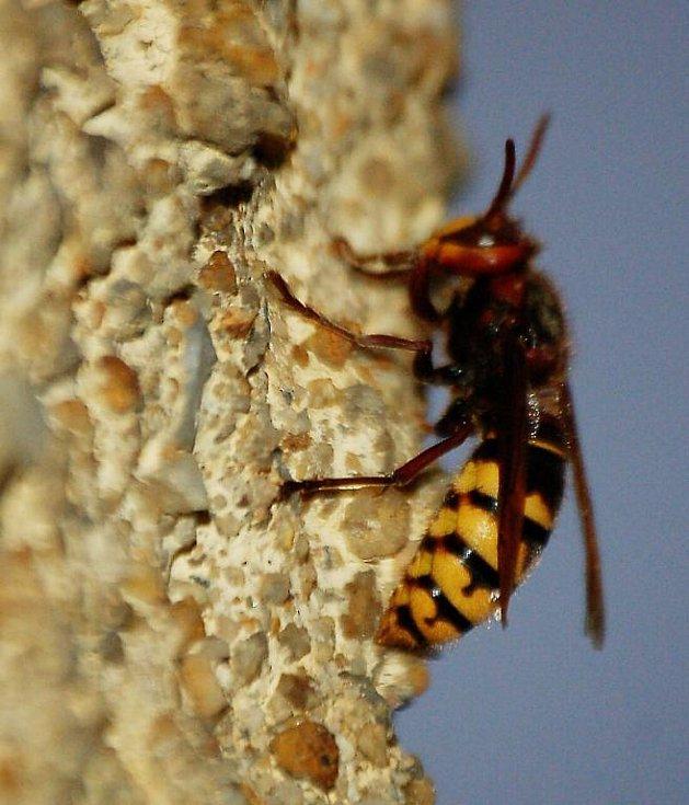 Chodovoplánští dobrovolníci zasahovali při likvidaci nebezpečného hmyzu.