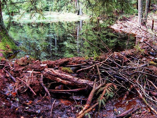 LOKALITA NA KOLMU je obývána bobry. Důkazy je vidět všude kolem.