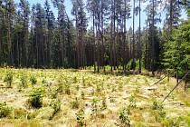 Pracovníci lesů na Kladrubsku vysadili desítky tisíc sazenic nových stromků.