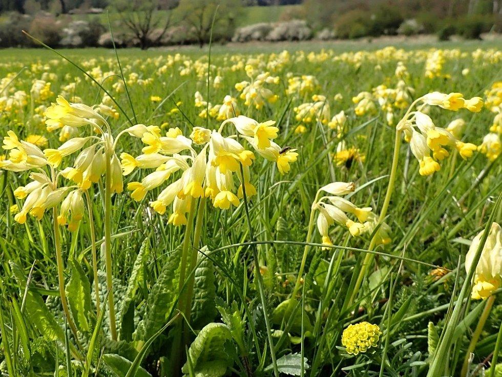 Petrklíče zvěstují jaro na Vlčí hoře.