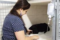 VETERINÁRNÍ KLINIKA v Tachově se zvířatům věnuje ve dne, v noci. Pacient zkrátka nepočká. O nemocné pacienty se starají 365 dní v roce. Veterinární asistentka Eliška Horvátová (na snímku) pečuje o nemocné štěně.