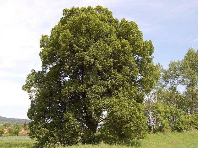 Lípa malolistá u osady Ostrovce na Černošínksu kandiduje na strom roku.