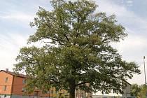 Dub letní v Záchlumí kandiduje na strom roku.