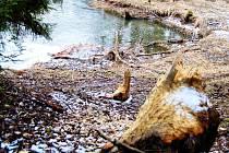 KOSOVÝ POTOK. Aktivní je bobr také u Dolního Kramolína, odkud je náš snímek.  Pobytové stopy mluví jednoznačně. Založit stabilní teritorium se snaží už od roku 2005.