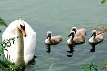 Poslední obětí ptačí chřipky byla labuť, a tak veterináři doporučují všímat si pozorněji chování veškerého vodního ptactva. V případě domácích chovů, kde by třeba pekáčové husy a kachny mohly přijít do styku s divoce žijícími tvory.