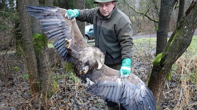 OREL MOŘSKÝ nalezený u Rozvadova. Jeden ze dvou uhynulých exemplářů. Jde o zvláště chráněného ptáka a o jak mohutného dravce jde ukazuje myslivecký hospodář Martin Ábel.